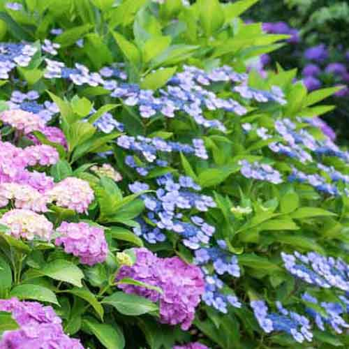 Best Fertilizer for Hydrangeas
