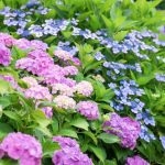 8 Best Fertilizer For Hydrangeas - 2020 Ultimate Guides