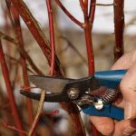 How To Prune Blueberries 2020 Guides